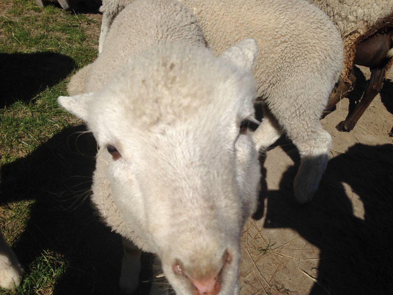 アグロドーム Agrodome ロトルア rotorua  羊 アルパカ