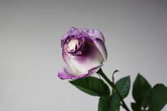 Magic Rose-1