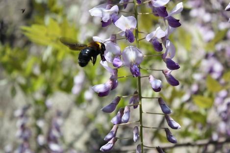 藤と蜂-2