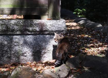 日吉神社のにゃんこ