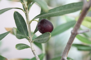 Olive-2