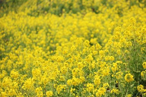 吾妻山菜の花