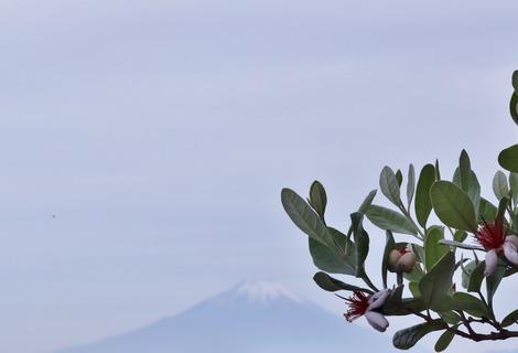 Feijoa & Fuji
