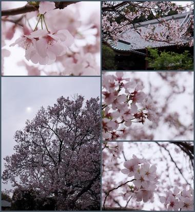 お寺の桜 2019