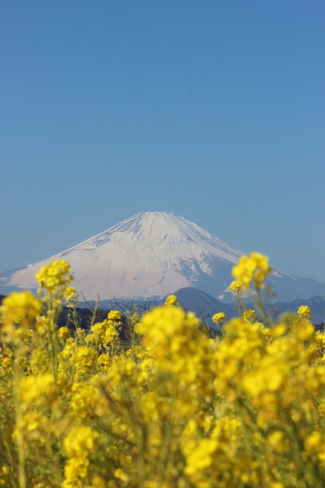 富士山と菜の花