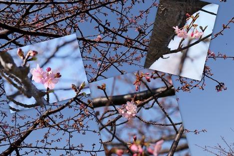河津桜 2021.2.7