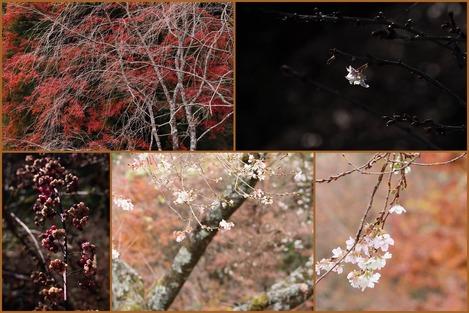 四季桜など