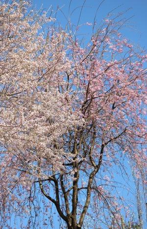 昼神温泉の桜-2