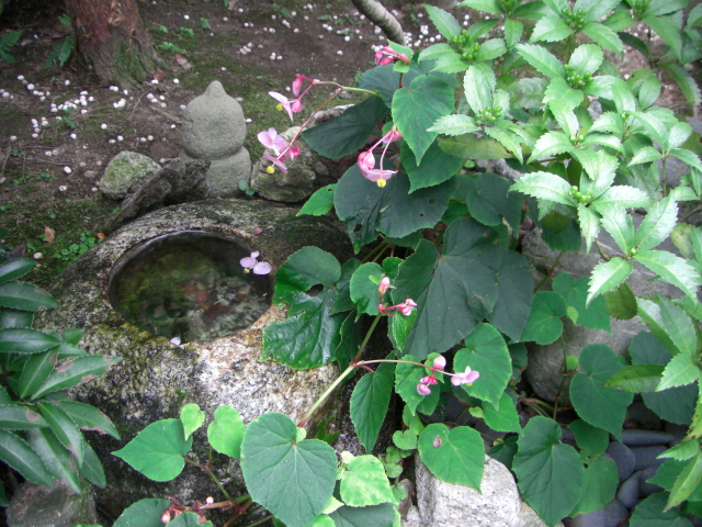 秋海棠-1