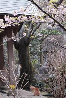 桜とねこ 2017-2