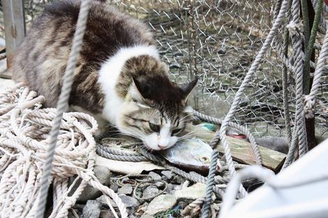 お魚を食べるネコ