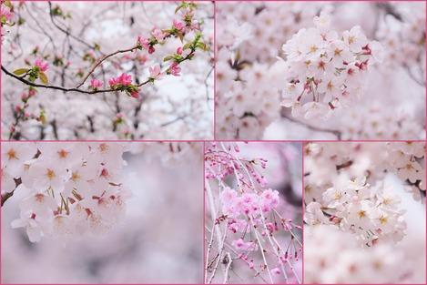 カリンと桜
