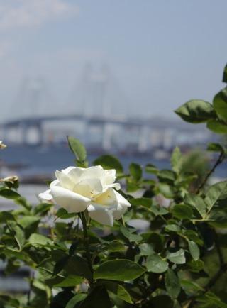 白バラとベイブリッジ