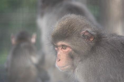披露山のお猿さん