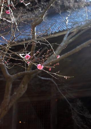 妙本寺の紅梅