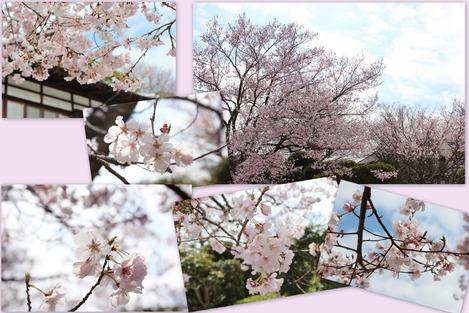お寺の桜 2016