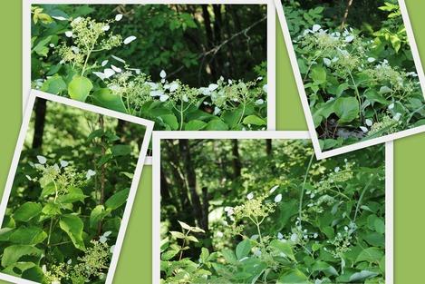 野に咲くイワガラミ