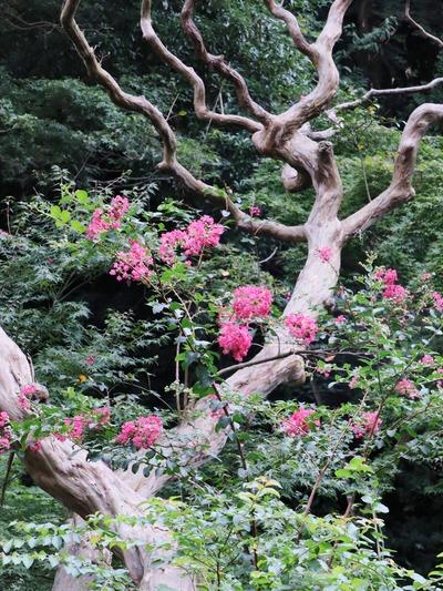 百日紅/三渓園