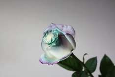 Magic Rose-2
