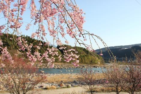桜と木曽川