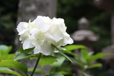 建長寺-白い紫陽花