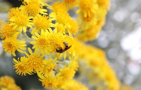 黄色い花と蜂