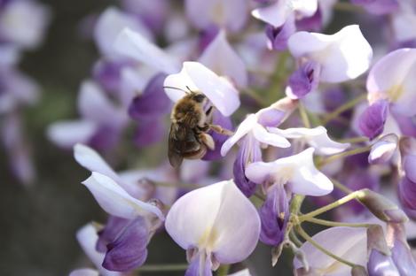 藤と蜂-1