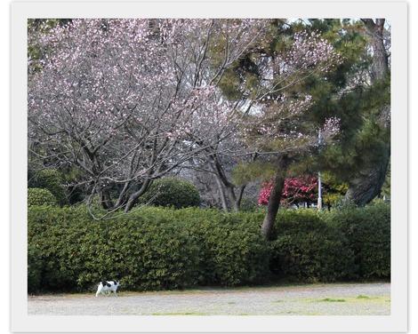 桜の下のねこ
