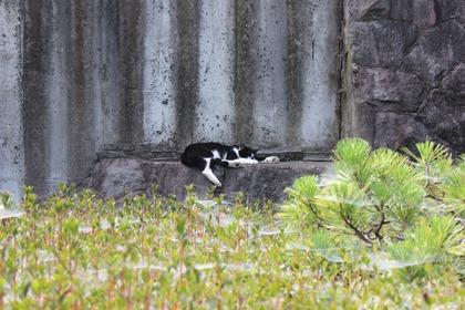 小田原城の猫-3