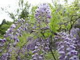 藤の花-2
