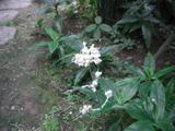 花みょうが
