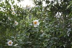 明月院-紗羅双樹