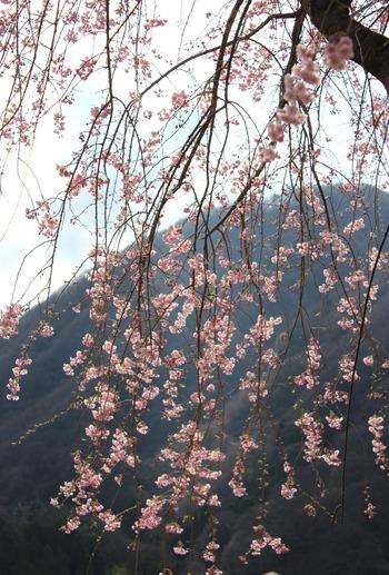 昼神温泉の桜