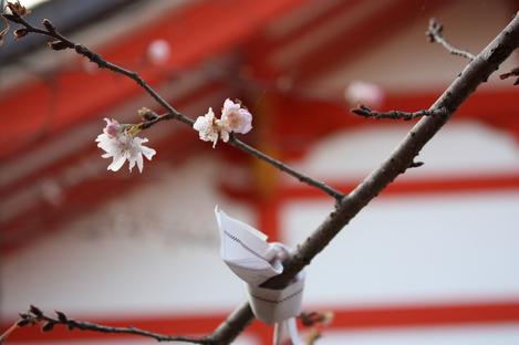 おみくじと緋寒桜