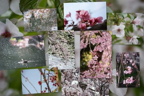 桜コラージュ-1