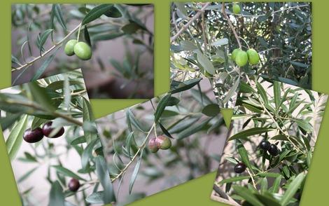 Olive 2011
