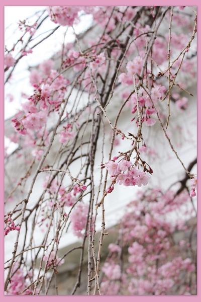 小田原城の枝垂れ桜