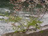 桜-4/8