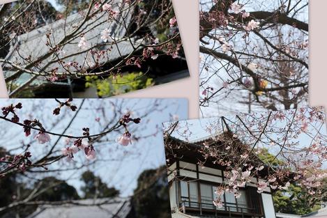お寺の桜 2017