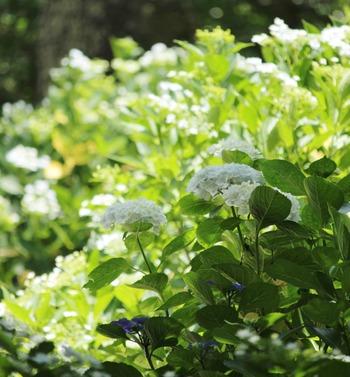 横須賀しょうぶ園の紫陽花