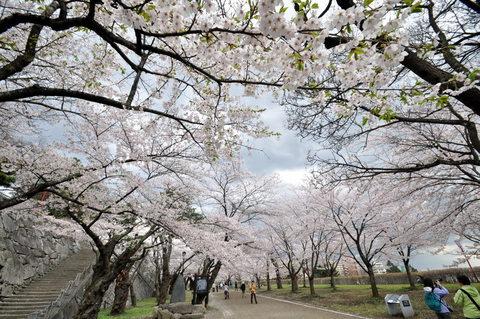 岩手公園の桜1