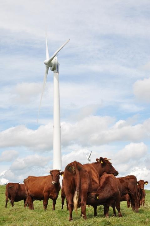 平庭高原の短角牛2