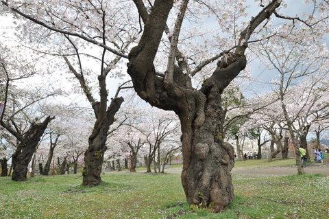 岩手公演の桜2