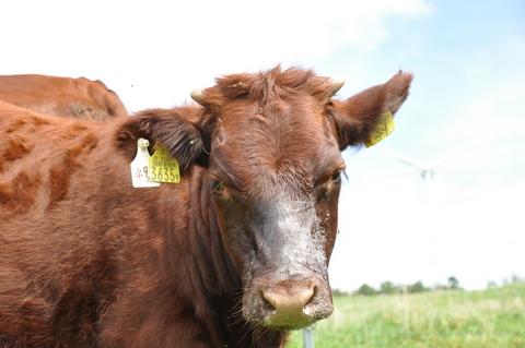 平庭高原の短角牛「国産丸」