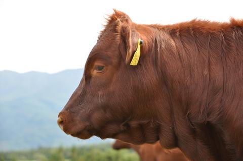 平庭高原の短角牛4
