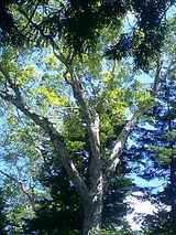 台倉清水の大木