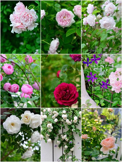 私の庭のバラweb