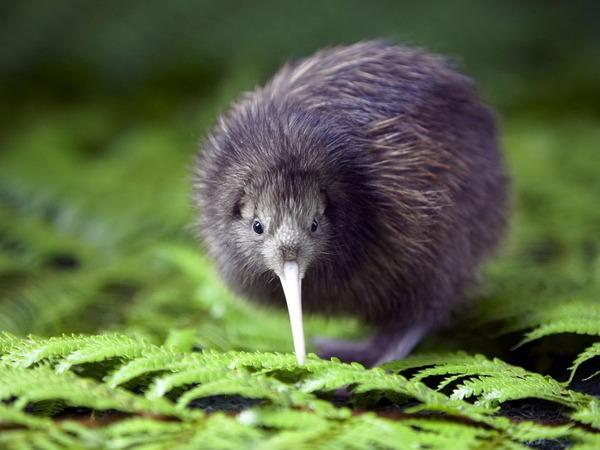 Kiwi_bird