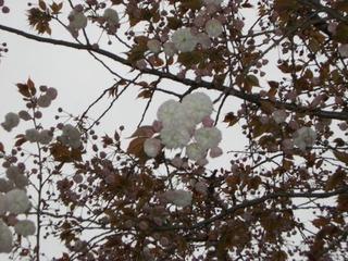 21八重桜アップ2