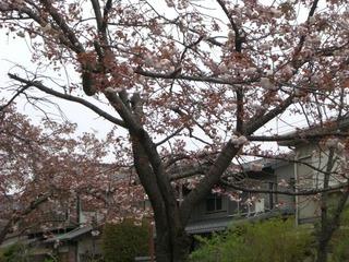 21八重桜2家あり